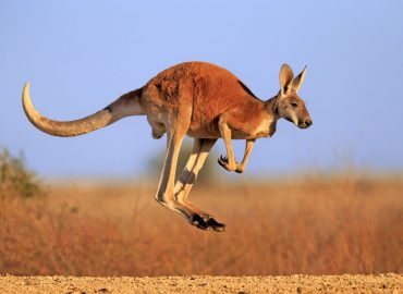 Where To See Kangaroos Near Melbourne, Australia